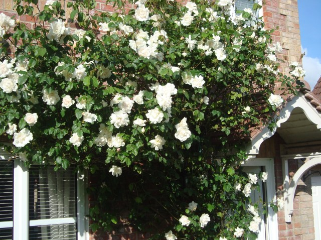 Rambling Rose at the front of the house earlier in the summer in full bloom (c) Sherri Matthews 2014