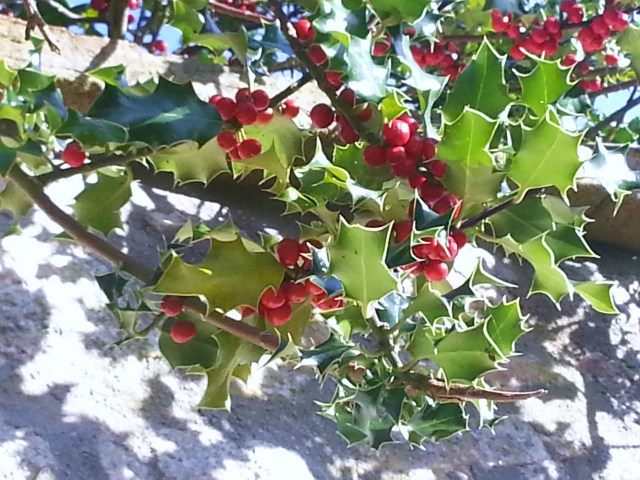 Holly growing along the wall.  A sign that winter is on its way? (c) Sherri Matthews 2014