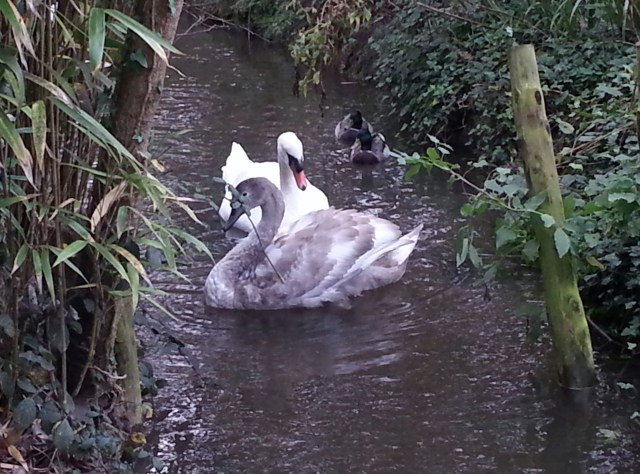 Mother & Cygnet (c) Sherri Matthews 2014