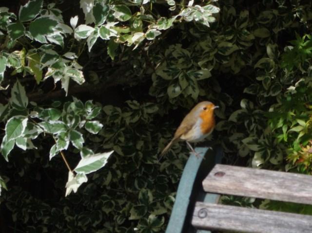 Robin in Garden Oct 2012 (8)