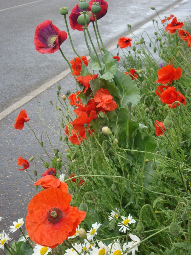 Poppies in Norfolk (c) Sherri Matthews 2014