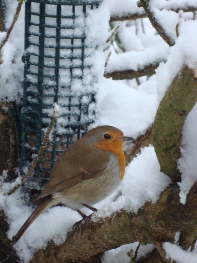 Sweet Robin in Somerset Snow Jan 2013 (c) Sherri Matthews