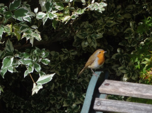 Sweet Robin in Somerset October 2013 (c) Sherri Matthews