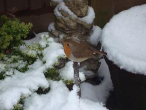 Sweet Robin in the snow, January 2013 (c) Sherri Matthews