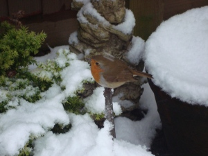 Sweet Robin in the snow, January 2013 (c) Sherri Matthews