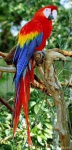 Z8600064-Scarlet_Macaw-SPL