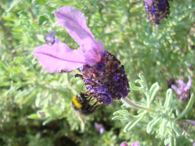 Bee & Lavendar, Summer Time in Somerset (c) Sherri Matthews