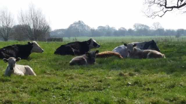 So warm, that even the cows in the field are having a lie down. Langport, Somerset, April 2015 (c) Sherri Matthews