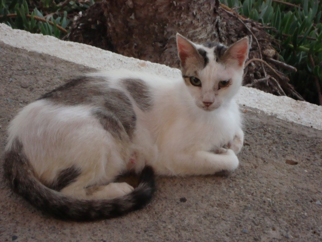 Mummy Feral, ever watchful of her kitties. Mochlos, Crete. (c) Sherri Matthews 2015