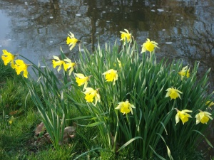 Always a lovely surprise to find daffodils blooming on the riverbank (c) Sherri Matthews 2015