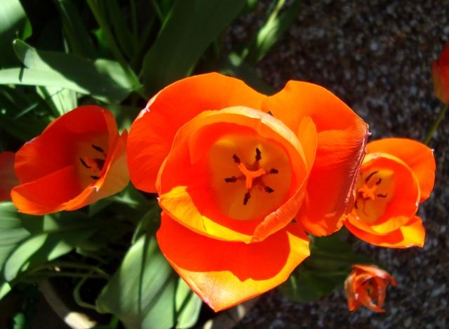 Tulips in April 2015 (11) Boost