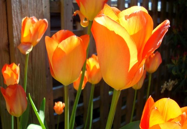 Tulips in April 2015 (8) Boost