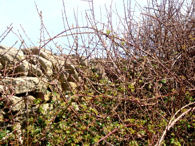 Climbing the wall isn't easy when it's covered and prickly brambles and barbed wire. West Bay April 2015 (c) Sherri Matthews
