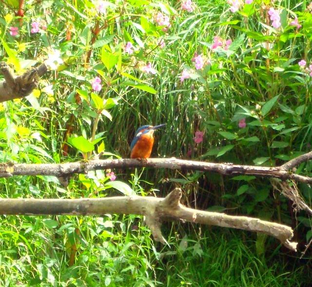 Close up of Kingfisher on River Avon, Bath September 2012 (c) Sherri Matthews