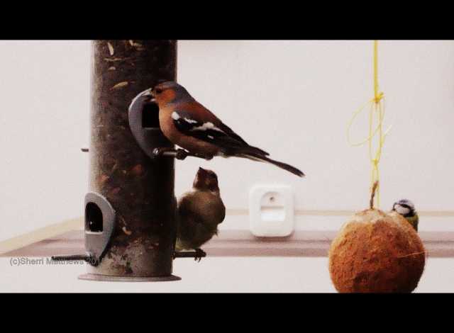 Beautiful Birds at the Feeder (10) Cinemascope
