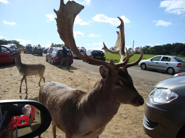 Deer At Longleat (c) Sherri Matthews