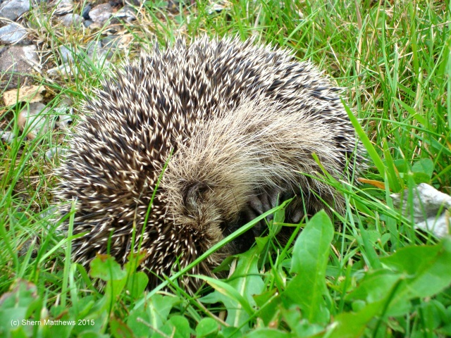Mrs Tiggywinkle, Devon August 2015 (9) Edited