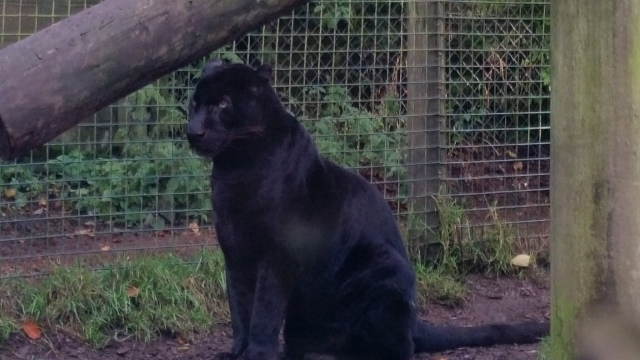 Panther - The Exmoor Beast at Exmoor Zoo. Hand raised, this beauty now lives at the zoo. He looks like Eddie's very large uncle...except he would make mincemeat out of his smaller nephew... (c) Sherri Matthews 2015