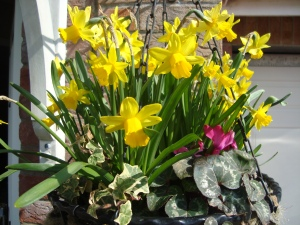 Spring Tete-A-Tete's for Mum