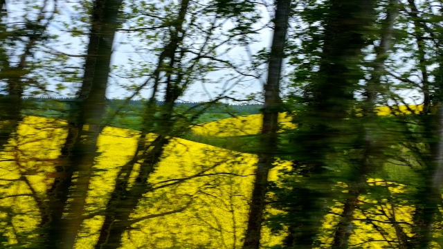 Rapeseed Fields in Dorset, England May 2016 (c) Sherri Matthews 2016