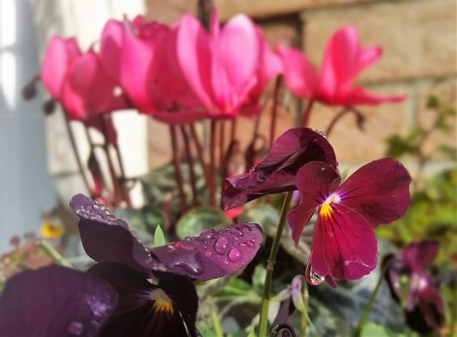 Melted Frost On Winter Violas (c) Sherri Matthews 2016