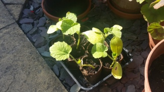 Pumpkin Seedlings May 2018